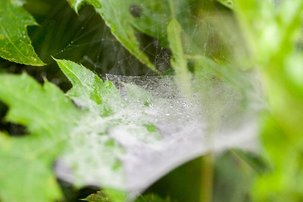 蜘蛛の巣の水滴1