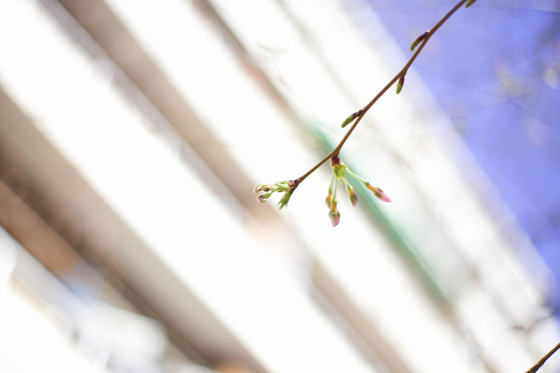 Canon EOS 6Dmark2 / YONGNUO YN50mm F1.8 中目黒 桜