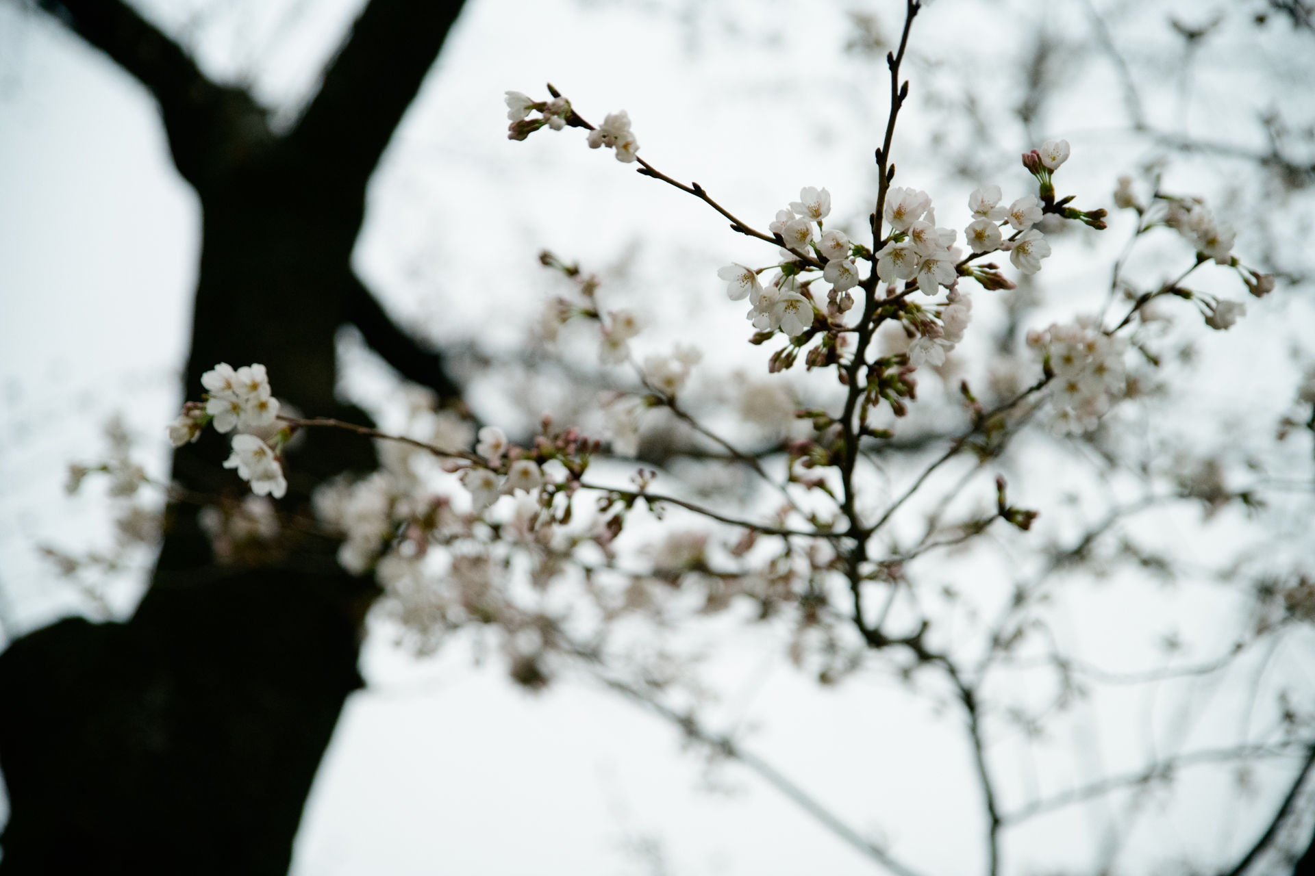 千鳥ヶ淵 桜 D850+SP 24-70mm F/2.8 Di VC USD G2