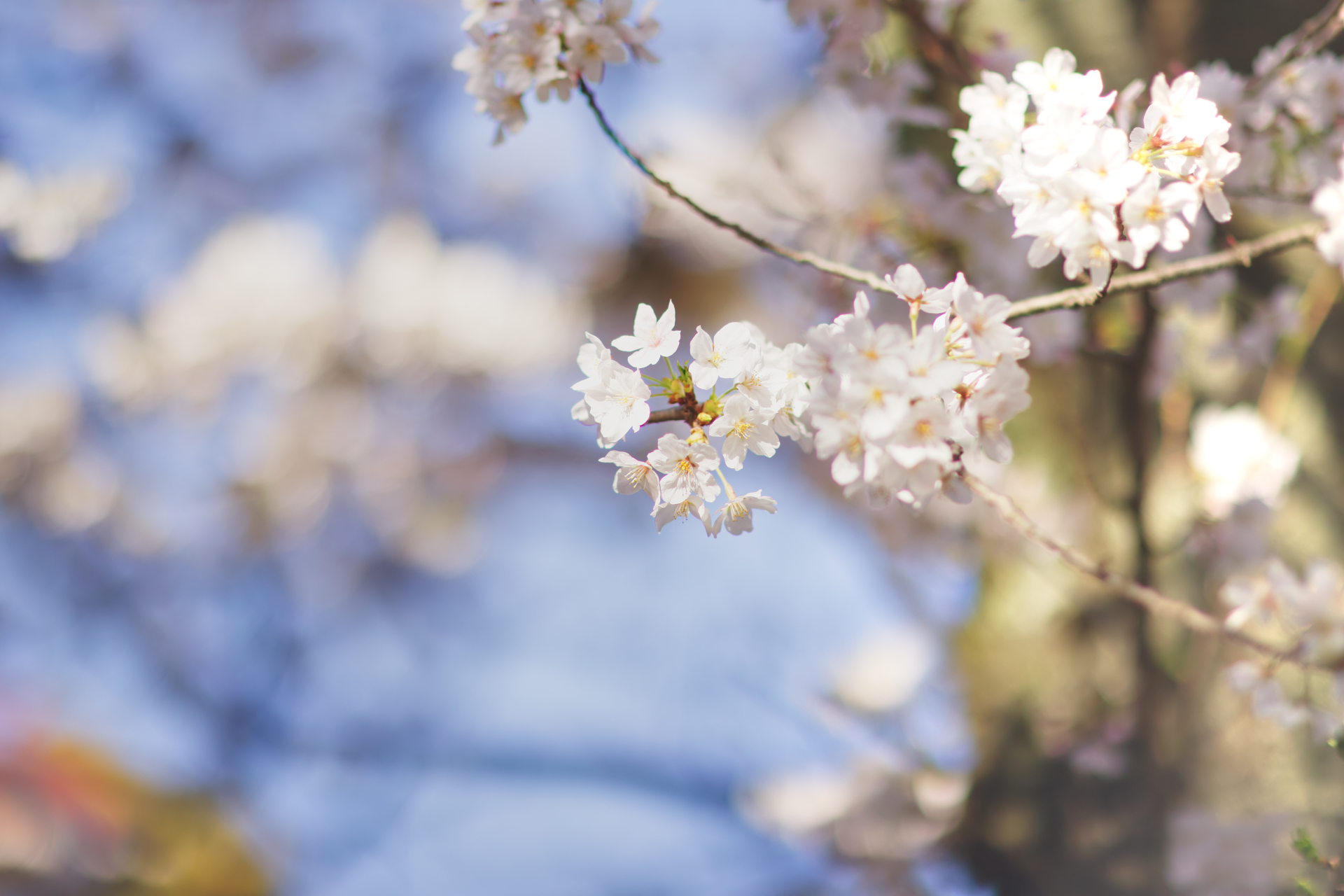 桜 Canon EOS 6Dmark2 / Samyang Optics 85mm F1.4