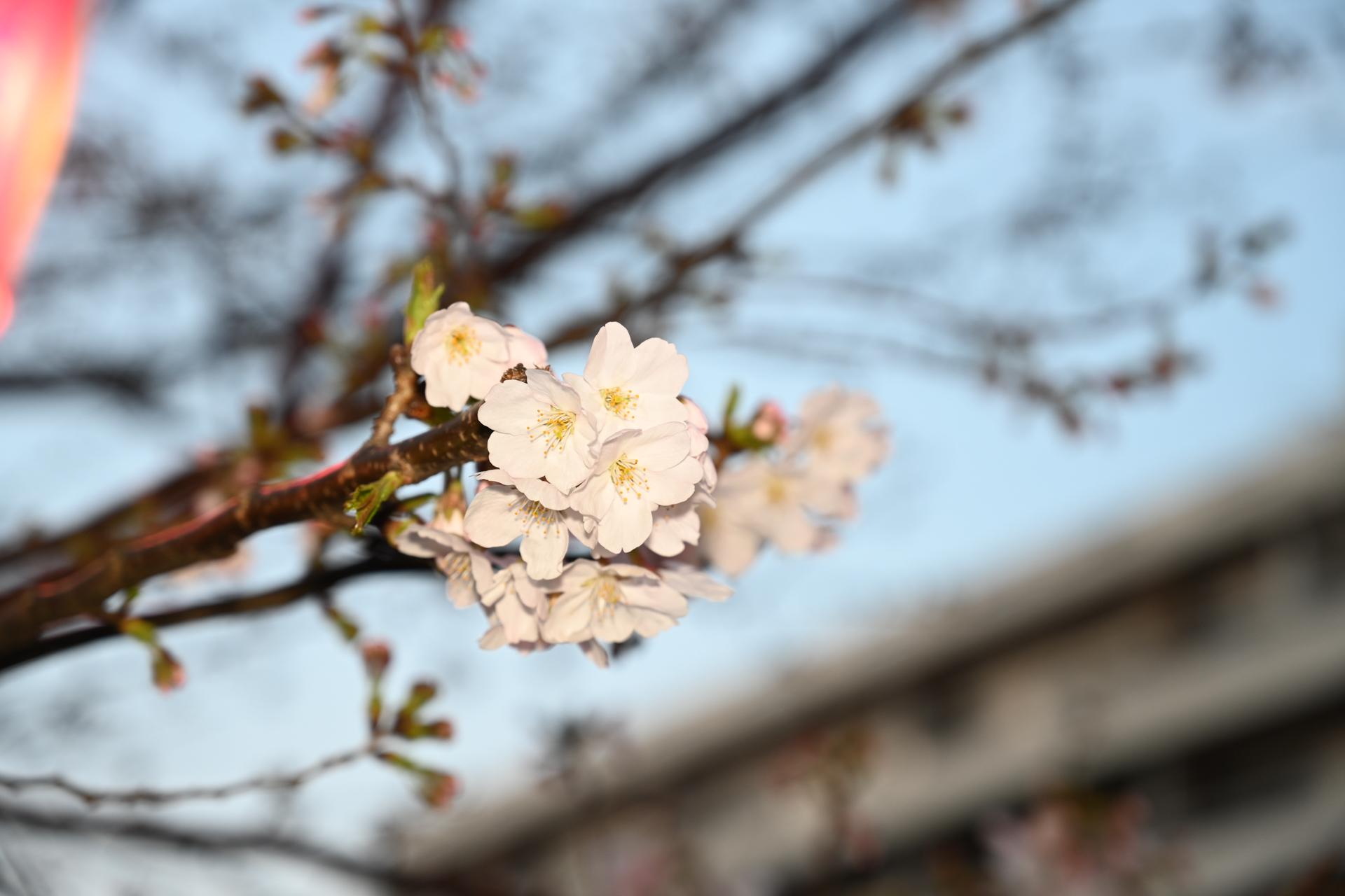 目黒川 桜 Nikon Z7, NIKKOR Z 24-70mm f/4 S